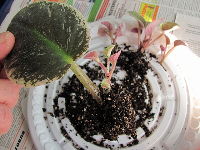 Как правильно посадить листики фиалок