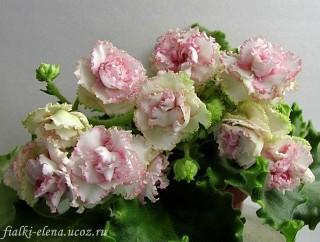 Ле роза ветров фиалка
