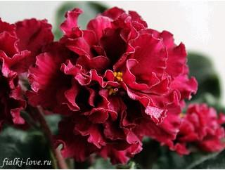 Фиалка ле огненный цветок фото и описание