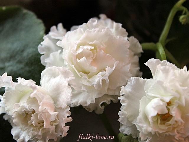 Золотая роза фото фиалка